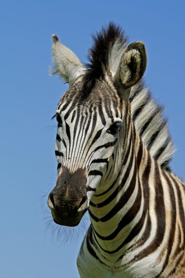 Download Zebra: Plains Zebra Portrait, South Africa Stock Photo - Image: 3372510