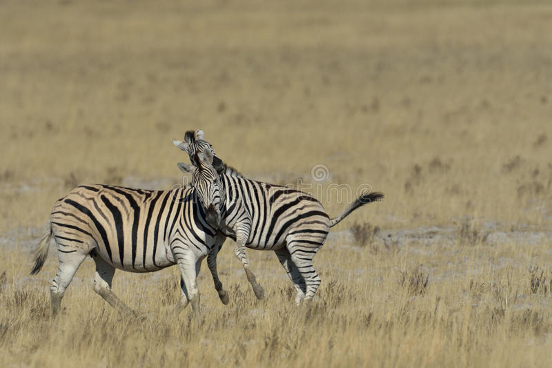 Zebra playing on grass on the pan in Etosha National Park, Namibia royalty free stock images