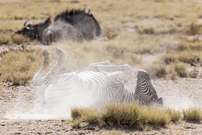 Zebra playing on the ground. In Namibia royalty free stock images