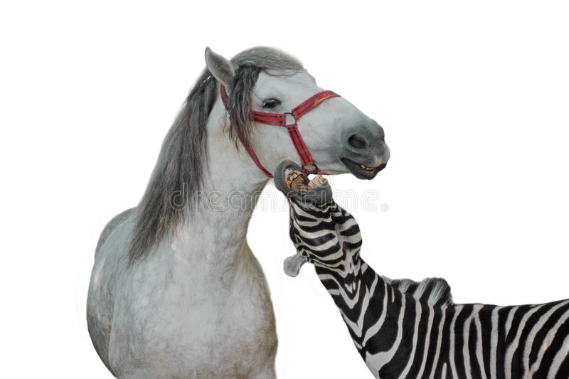 Portrait of zebra and horse royalty free stock photos