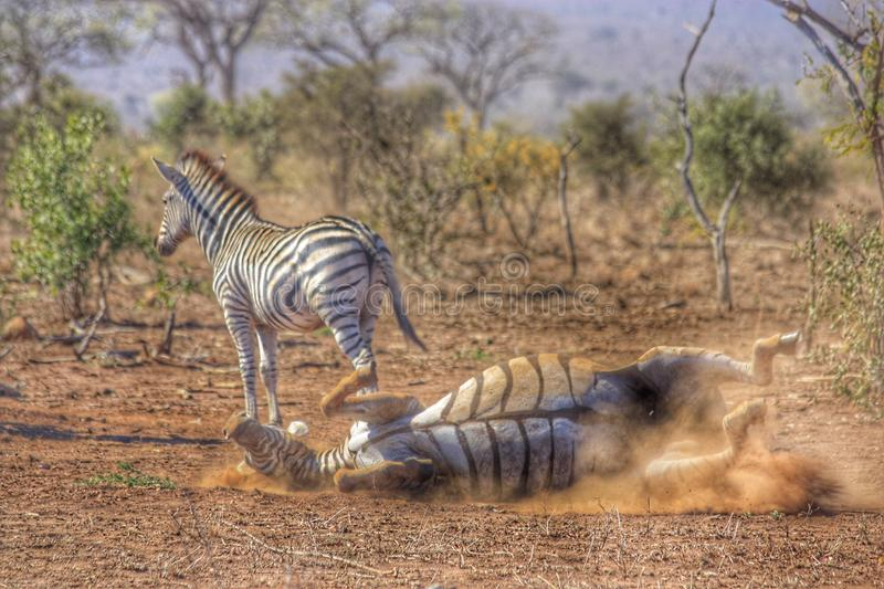 Zebra playing in Kruger South Africa royalty free stock images