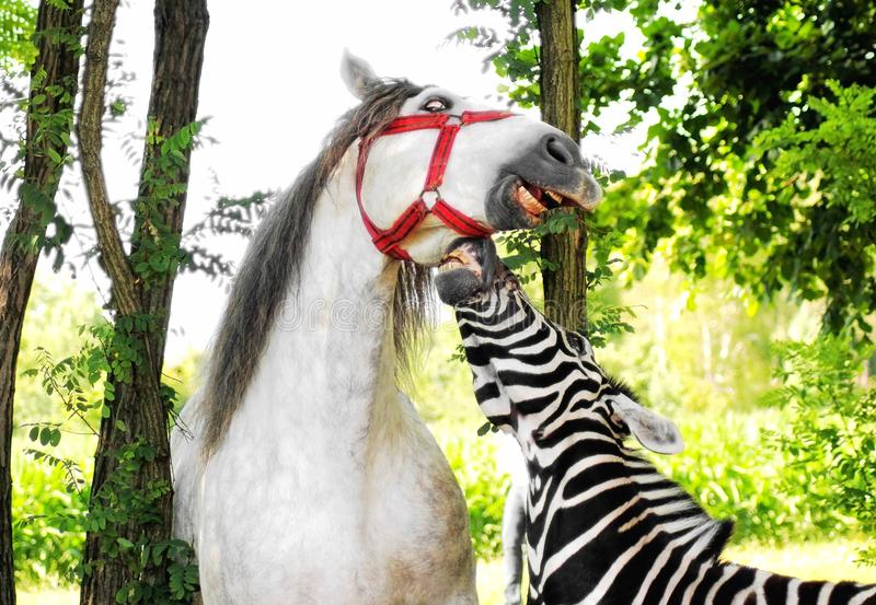 Portrait of zebra and horse outdoor royalty free stock photo