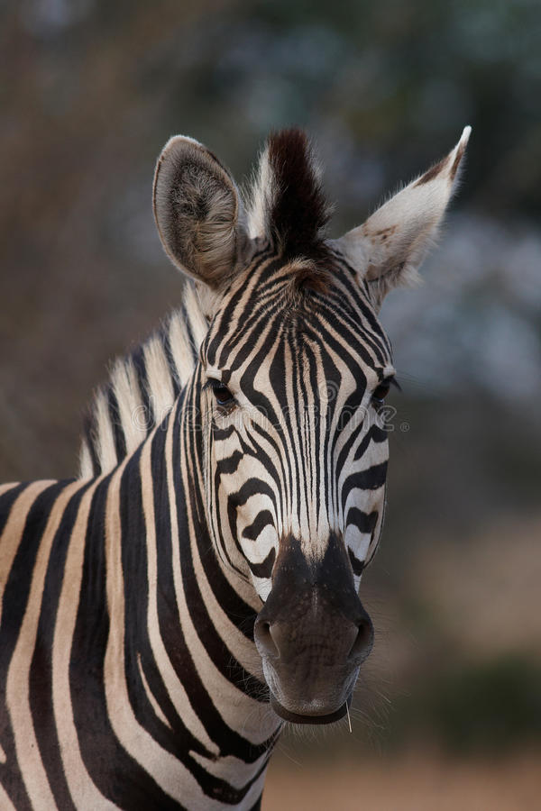 Free Zebra Portrait Stock Photos - 13403623