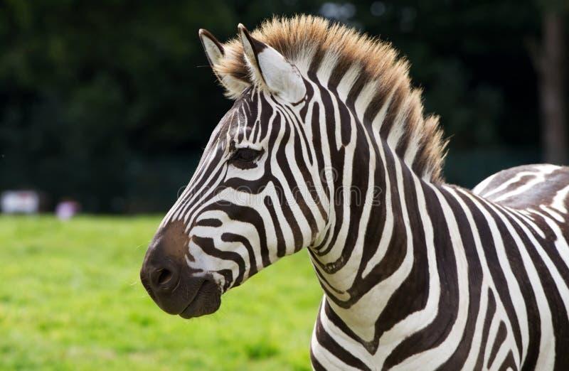 Zebra portrait royalty free stock photos