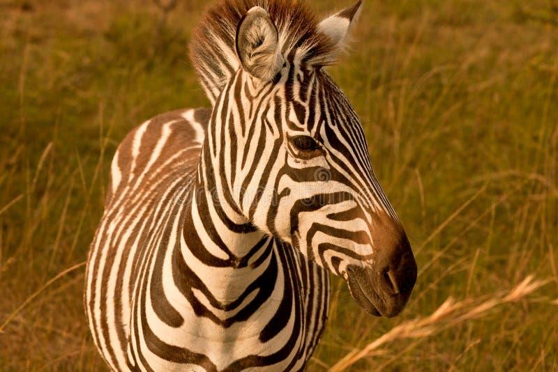 Download Zebra Portrait stock photo. Image of holiday, kruger - 24876146