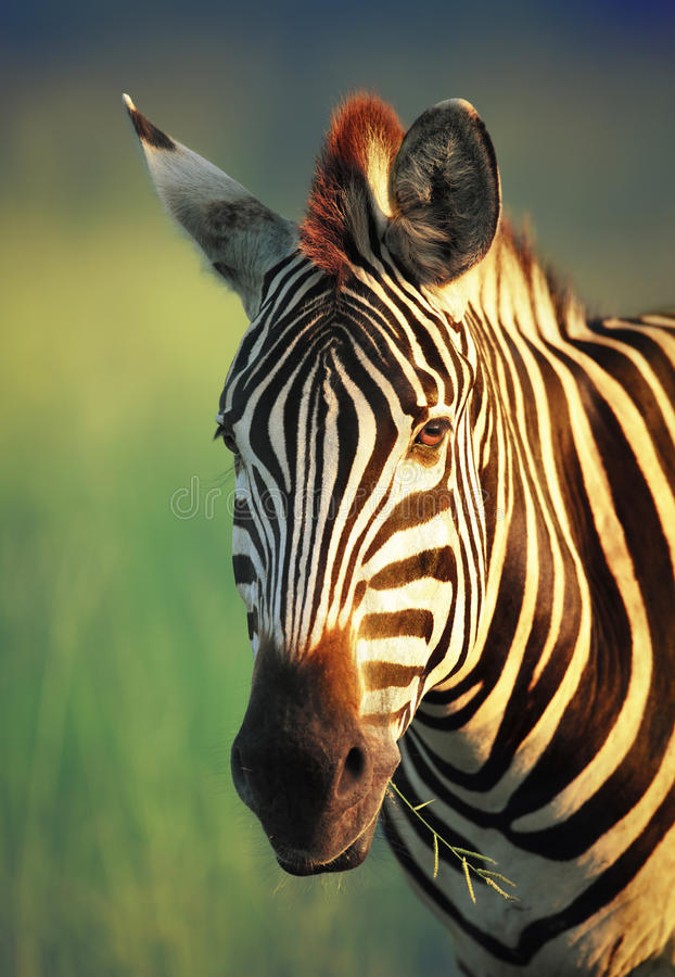 Free Zebra Portrait Royalty Free Stock Photos - 26175098