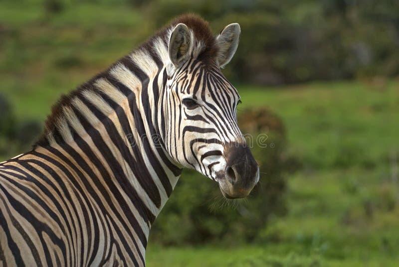 Zebra-Portrait stockbild