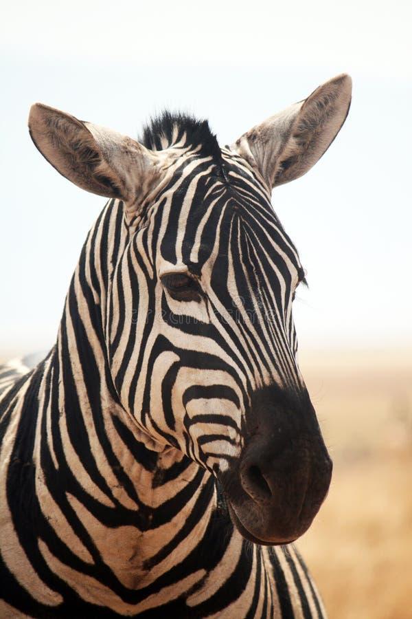 Zebra portrait stock photo