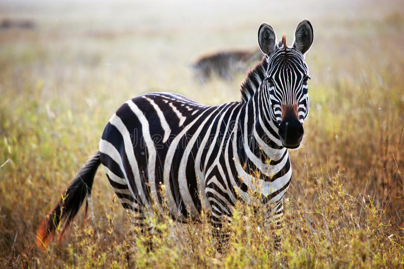 Zebra portrait on African savanna. royalty free stock images