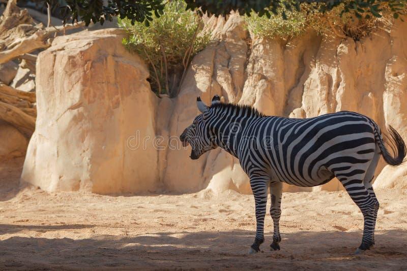 Zebra portrait on African savanna. stock photo