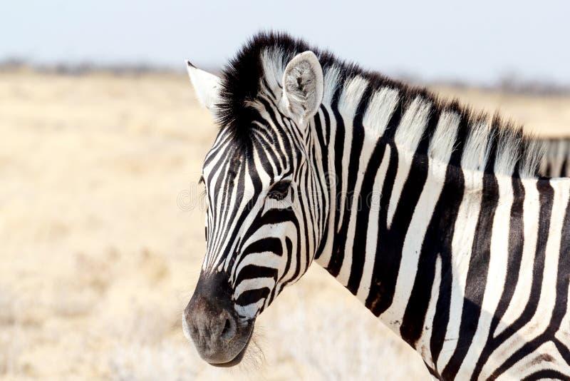 Zebra portrait. Burchell's zebra, Equus quagga burchellii. royalty free stock images