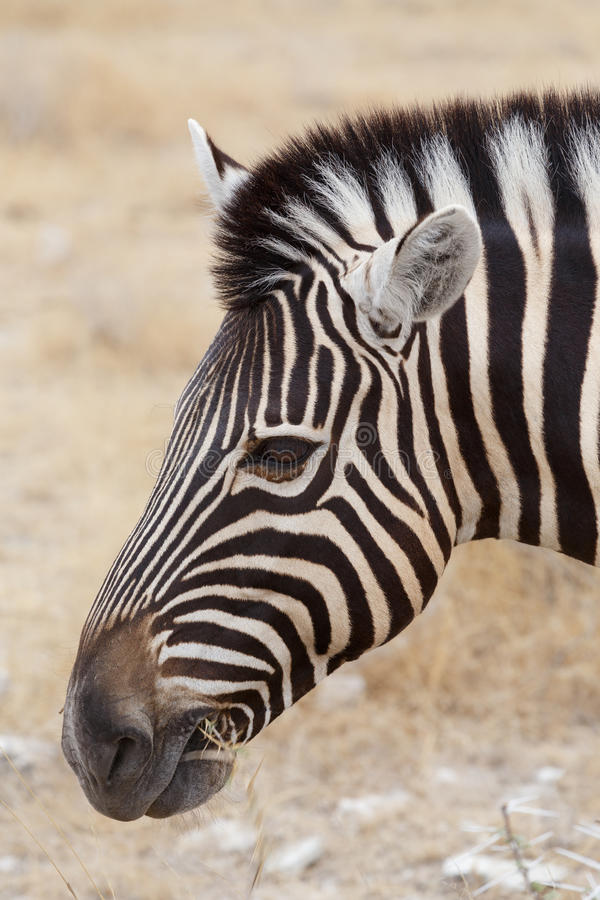 Zebra portrait. Burchell's zebra, Equus quagga burchellii. stock image