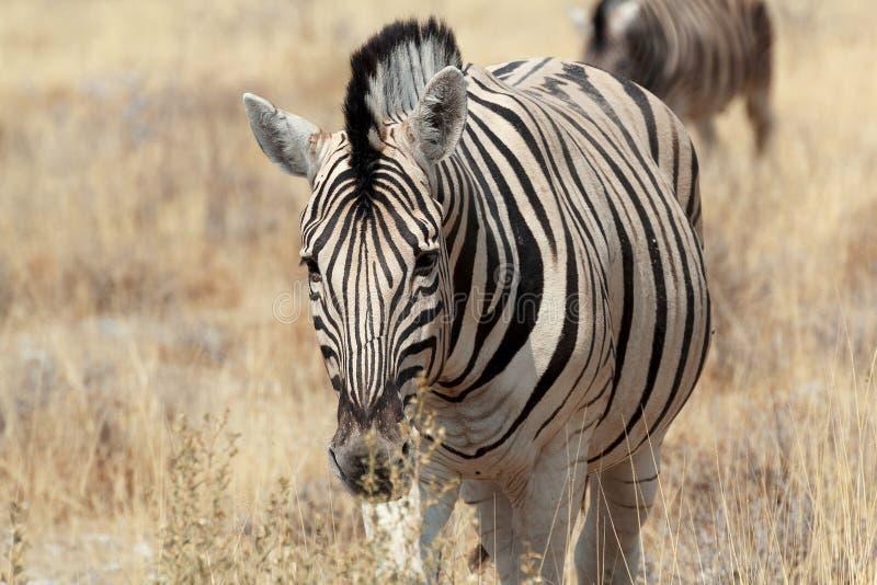 Zebra portrait. Burchell's zebra royalty free stock images
