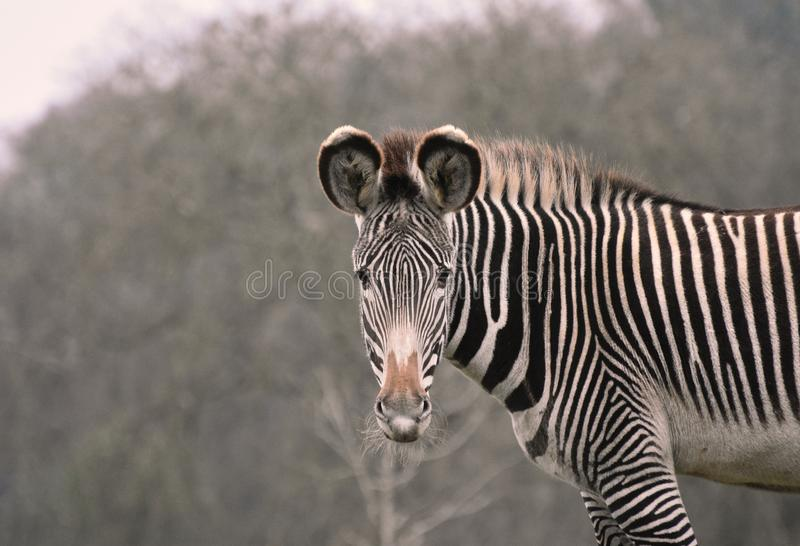 Zebra portrait - with eye contact. An adult zebra stares inquisitively at the camera with its ears forward attentively stock image