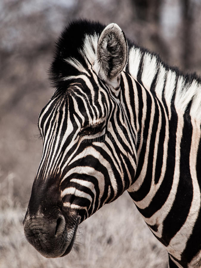 Free Zebra Portrait In Black And White Stock Images - 35672924