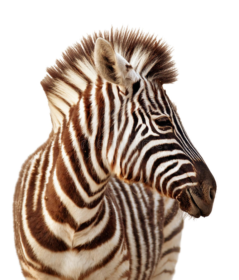 Zebra portrait isolated stock photography