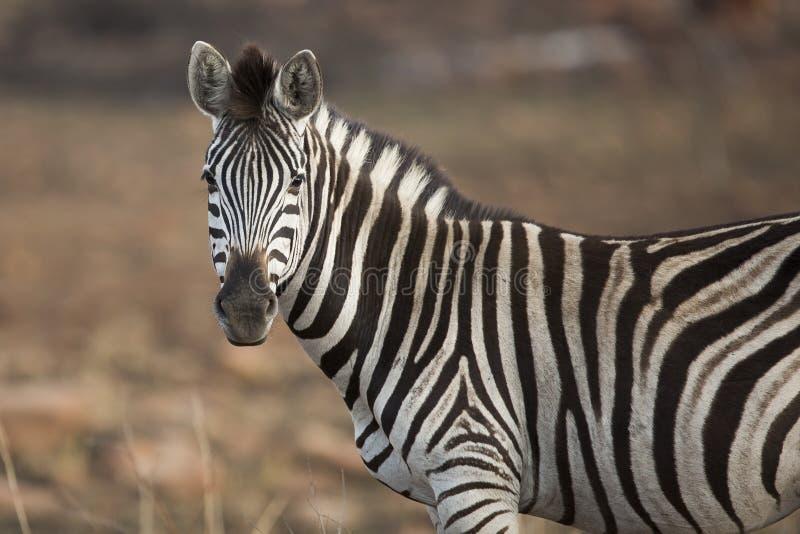Zebra portret Południowa Afryka zdjęcie stock