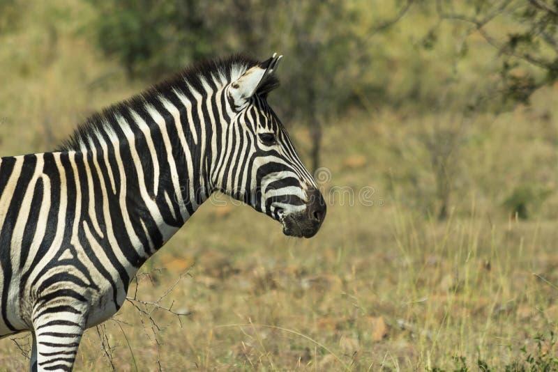 Zebra portret w krzaku zdjęcie stock