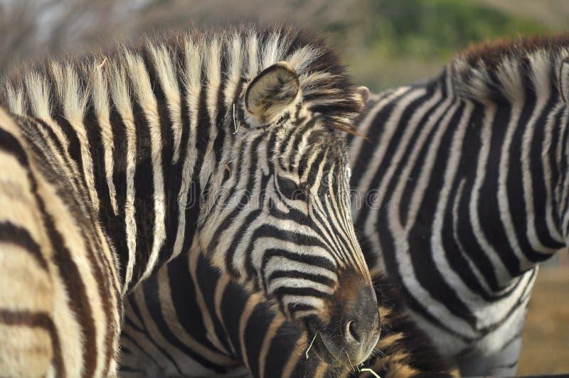 Zebra potrait. Zebra looking at the photographer while crunching grasses at Nasu Safari Park, Japan royalty free stock photo