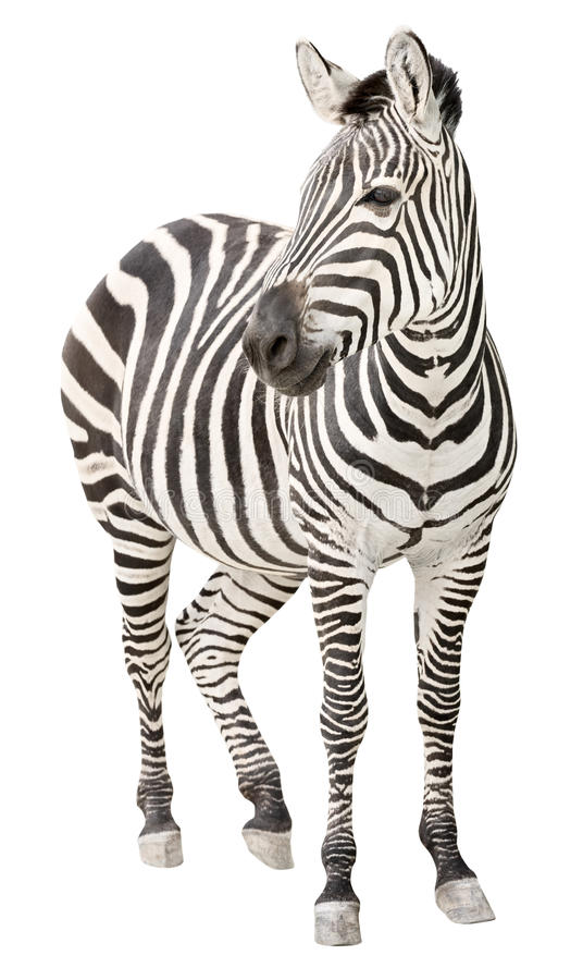 Zebra pregnant front view looking cutout royalty free stock photos
