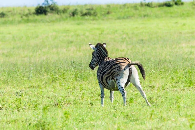 Zebra Pregnant Wildlife royalty free stock photo