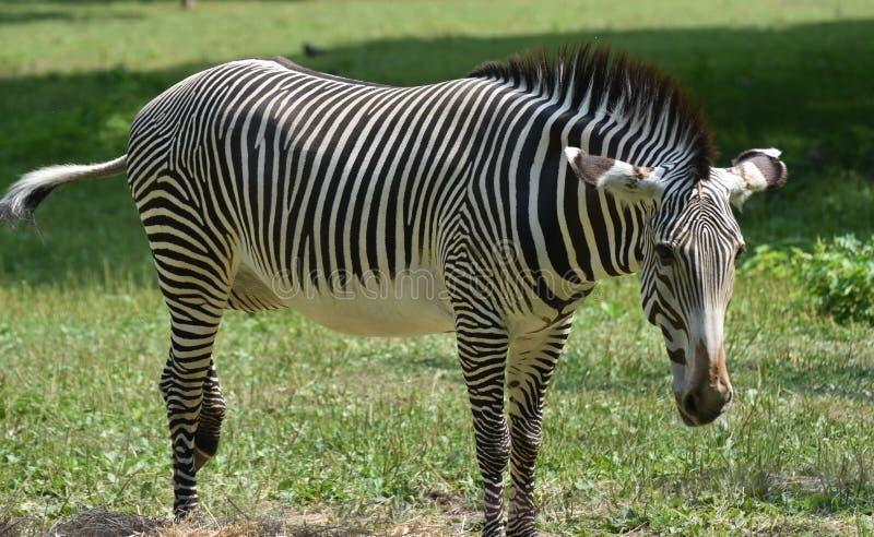 Zebra preto e branco grevy bonito em um campo imagem de stock royalty free