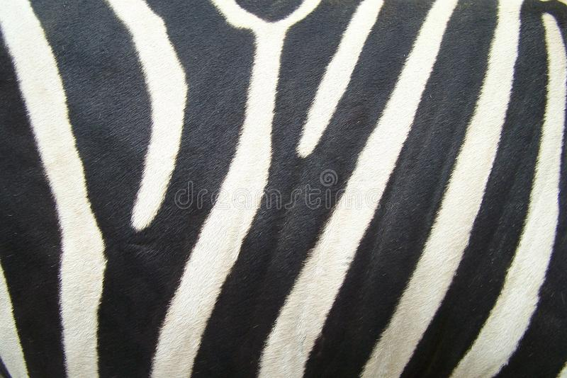 Download ZEBRA PRINT stock photo. Image of stripped, textured - 29621256