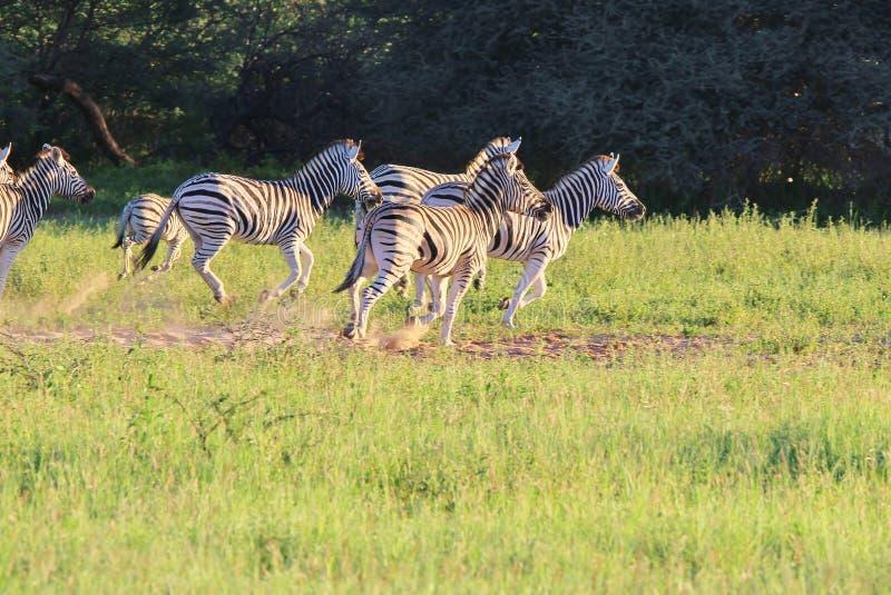 Zebra - przyroda od Afryka - bieg lampasy obraz stock