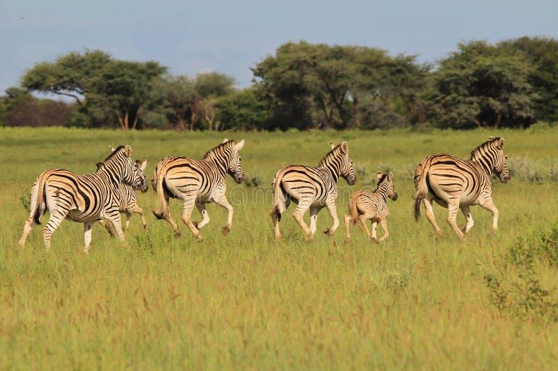 Zebra - przyroda od Afryka - Biegać lampasy obraz stock