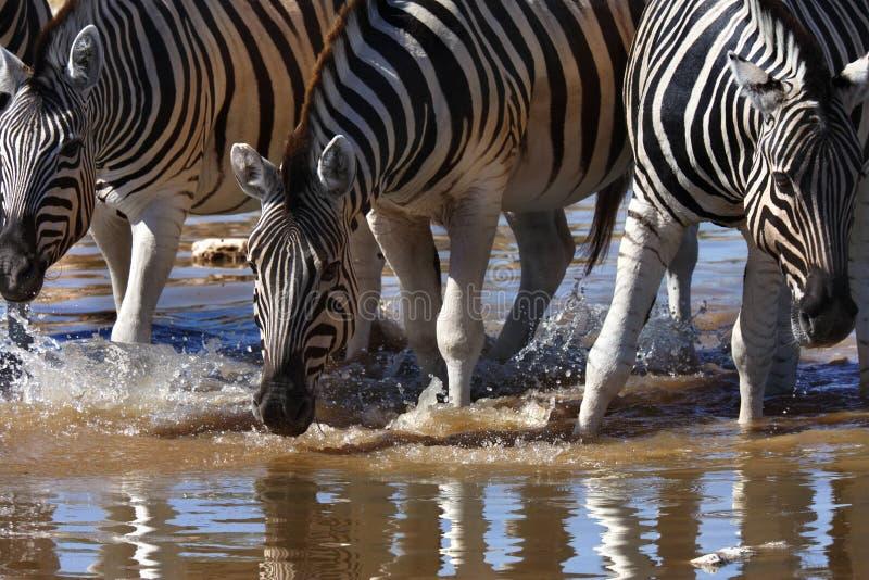 Zebra - quagga del Equus - il Namibia fotografia stock libera da diritti