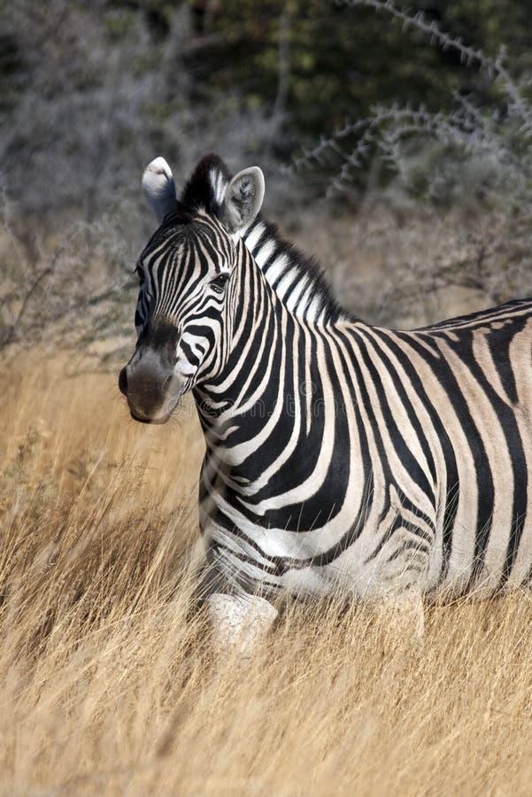 Zebra (quagga) del Equus - Namibia immagini stock libere da diritti