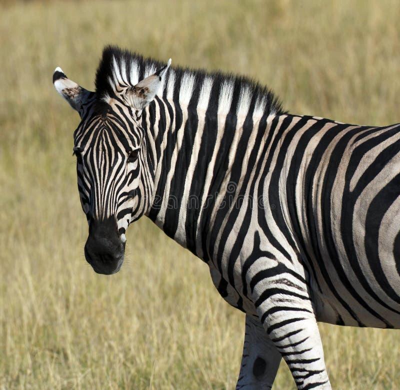 Zebra (quagga) do Equus - rio de Khwai - Botswana fotografia de stock royalty free