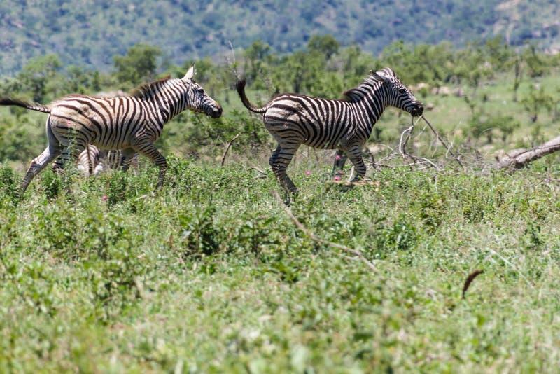 Zebra que é brincalhão fotos de stock