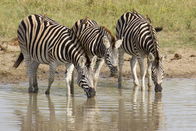 Zebra que bebe, África do Sul de Burchell imagens de stock royalty free