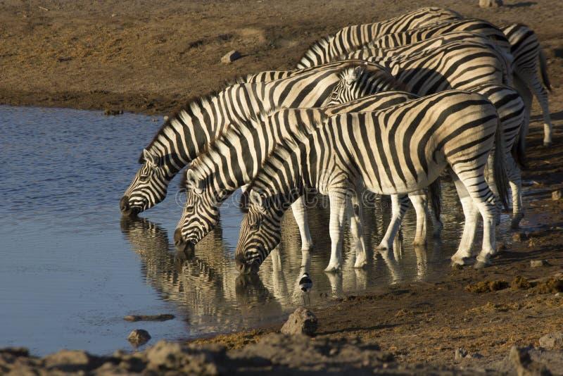 Zebra que bebe Namíbia imagem de stock royalty free
