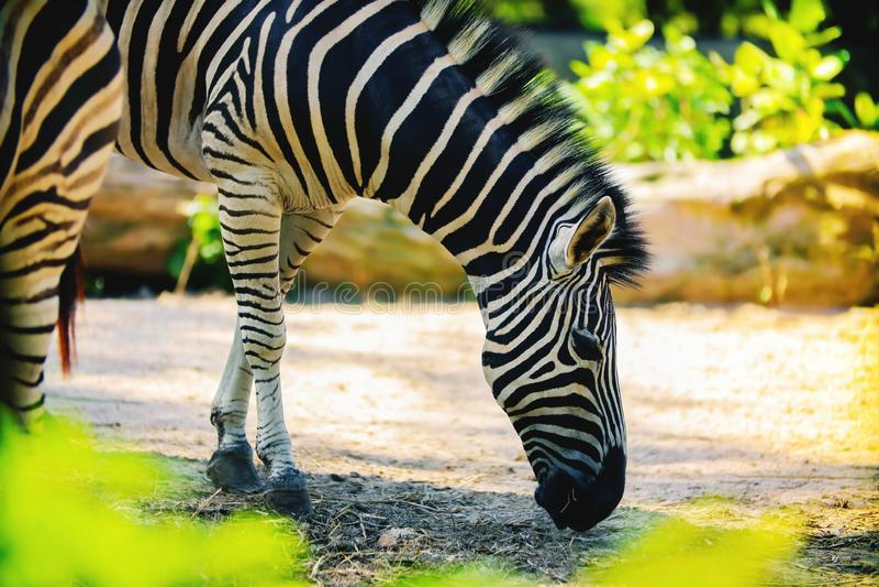 Zebra que come a grama fotografia de stock royalty free
