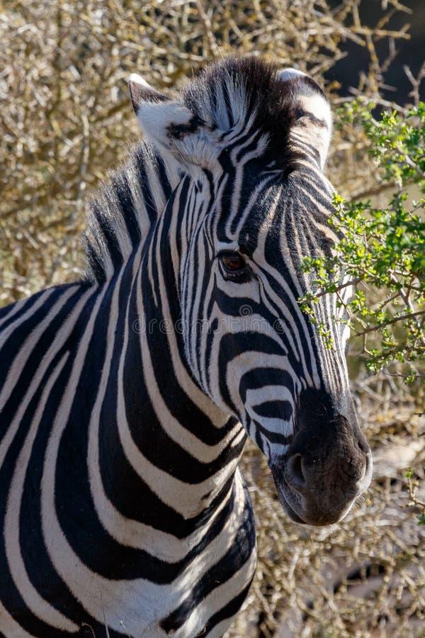 Zebra que esconde entre as árvores imagens de stock royalty free