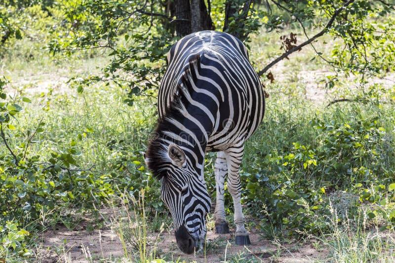 Zebra que está na grama dentro do parque de Kruger, África do Sul imagens de stock royalty free