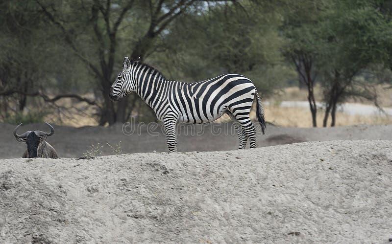 Zebra que está no monte branco que olha à esquerda fotos de stock royalty free