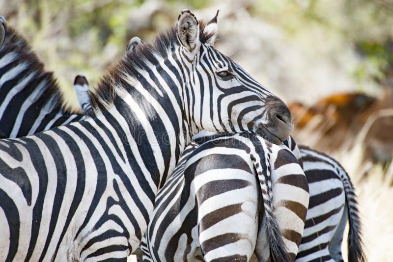 Zebra que inclina a cabeça na parte de trás de uma outra zebra em Serengeti, Tanzânia foto de stock royalty free