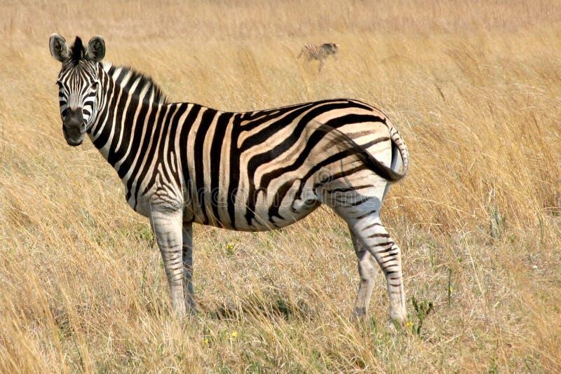 Zebra que pasta em um campo fotografia de stock
