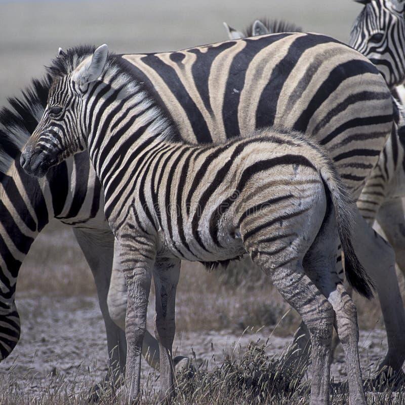 Download Zebra równiny zdjęcie stock. Obraz złożonej z safari - 65226058
