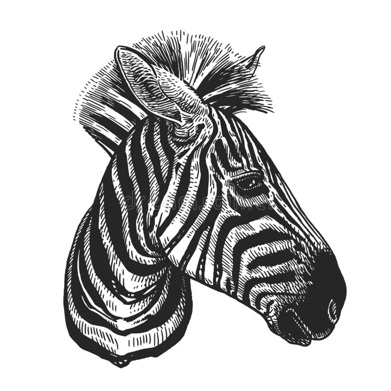 Zebra. Realistic portrait of Africa animal. Vintage engraving. Vector illustration art. Black and white hand drawing. Head of Lama. Is close-up. Facial royalty free illustration
