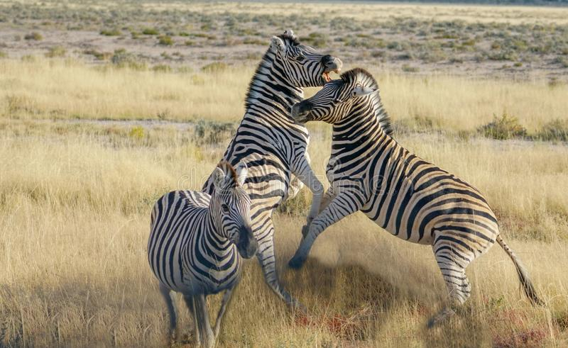 Zebra rearing up in fighting pose. royalty free stock images
