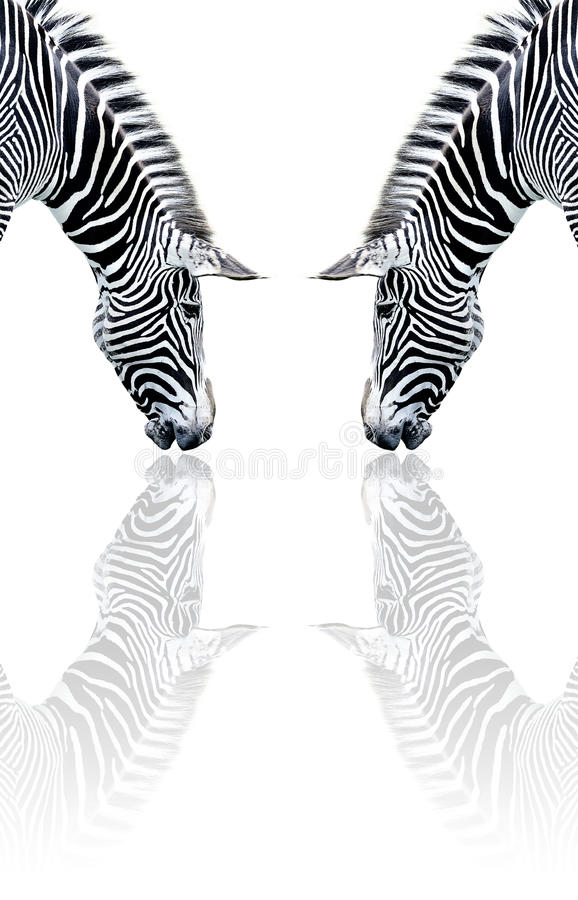 Download Zebra reflection stock image. Image of symmetry, down - 15049129