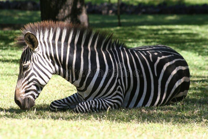 zebra relaksująca obraz royalty free