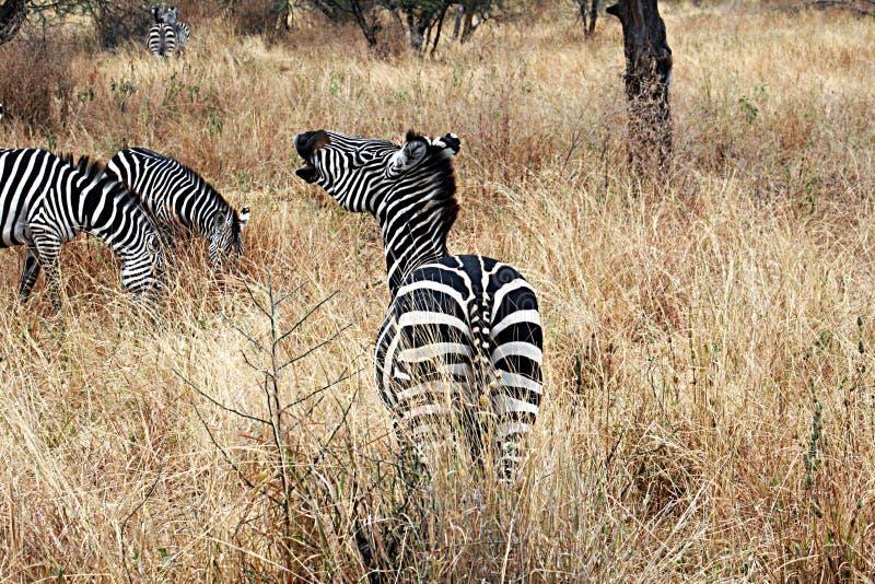 A zebra relincha foto de stock