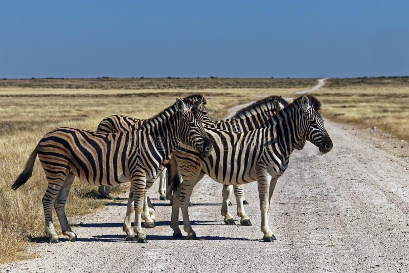 Zebra on the road, Etosha National Park royalty free stock photo