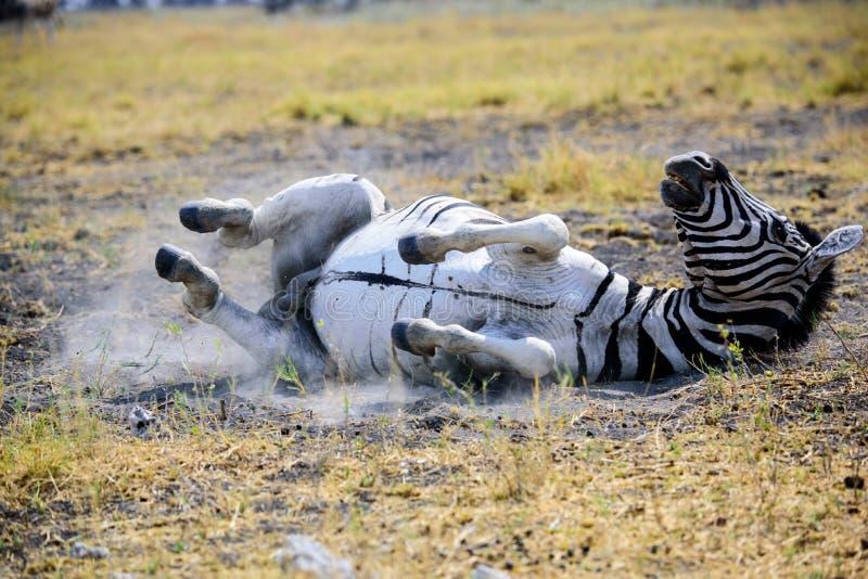 Zebra rolling around on the ground stock image