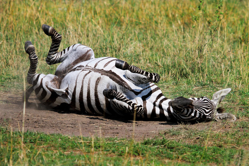 Zebra Rolling on the dry dusty plains in Masai mara royalty free stock photo